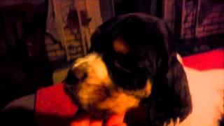 Pee Wee - Tri Colored Akc English Springer Spaniel Pup