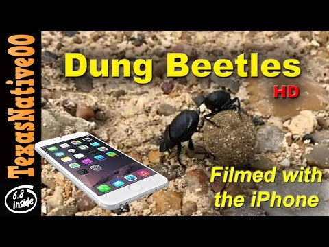 Filmed on iPhone -  Dung Beetles at Work