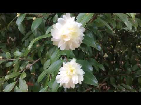 Camellia Plant Profile