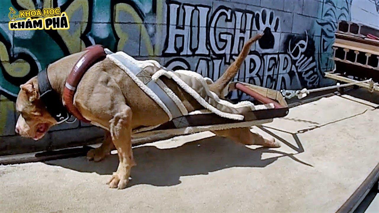 ⚡ TOP 10 Loài Chó Khỏe Nhất Thế Giới, Bất Ngờ Pitbull Còn Kém Xa Loài Chó Này