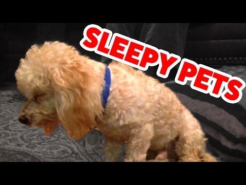 Funniest Sleepy Dog & Cat Videos of 2016 | Cutest Animals 2016