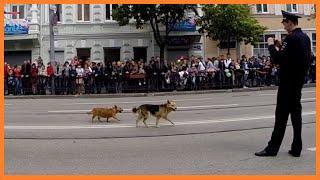Прикол. Собаки начали парад победы  2015 Ростов на Дону