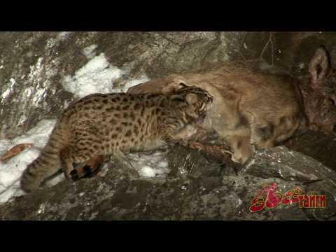 Лесной кот & косуля Leopard Cat Vs Roe Dear