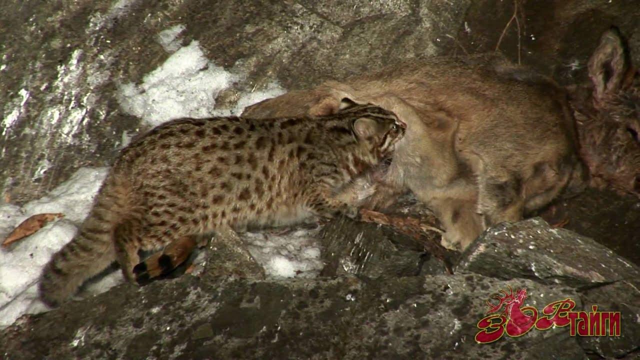 лесной дикий кот фото