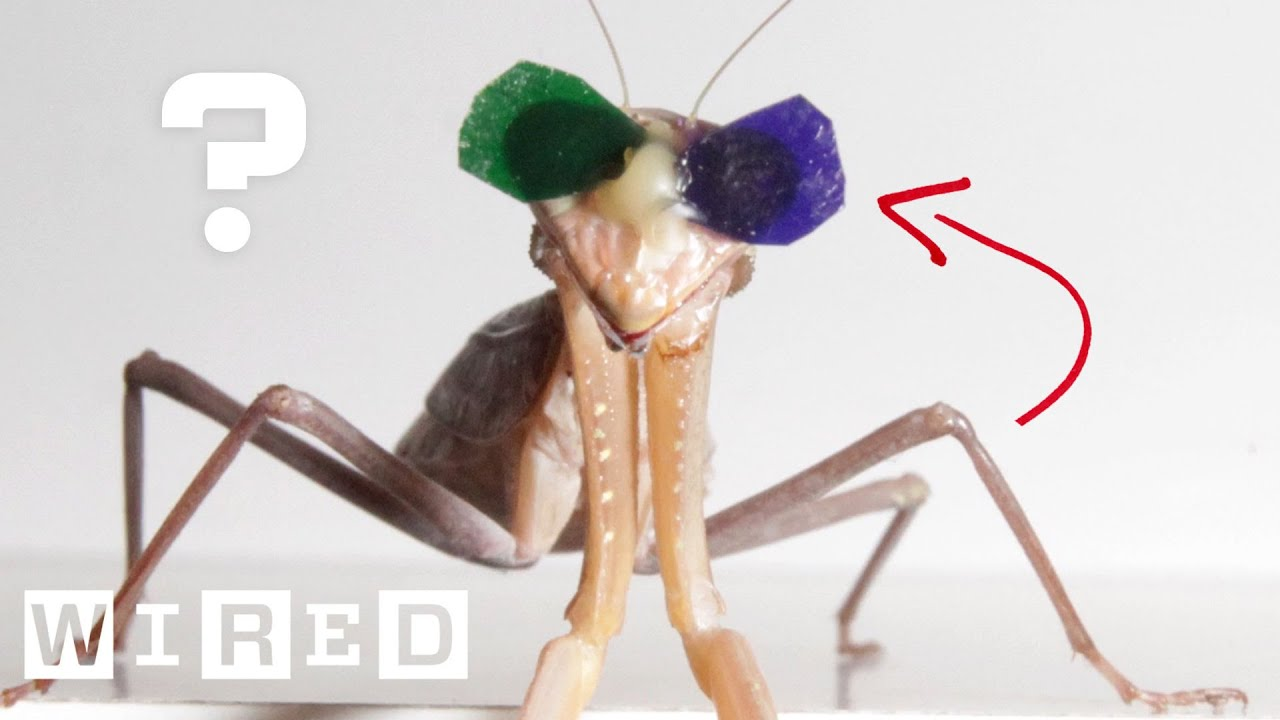 Vision Scientist Explains Why These Praying Mantises Are Wearing 3D Glasses