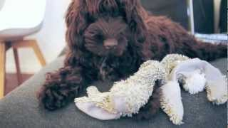 my dog (Koharu) 6moths old cockerpoo with her favorite toy 小春6ヶ...