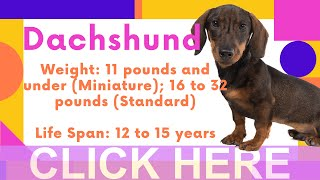 Dogs: Dachshund Breed Information And Personality