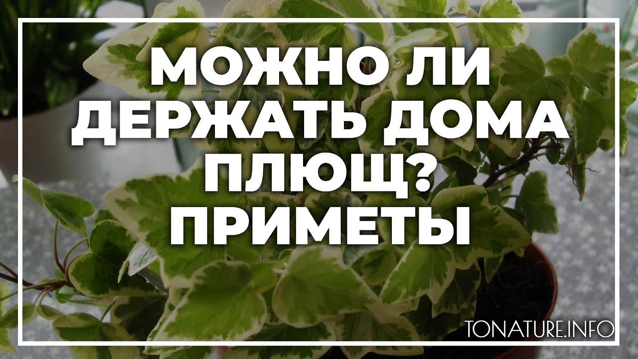 Можно ли держать дома плющ, приметы? | toNature.Info