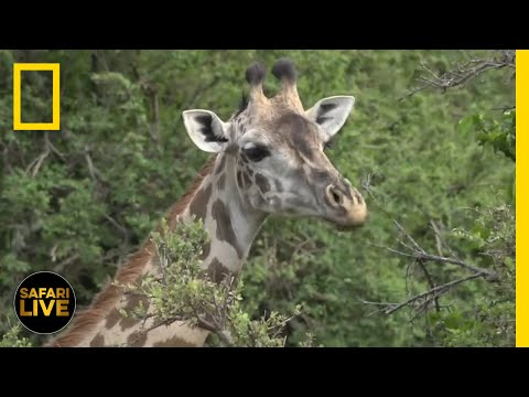 Safari Live - Day 42 | National Geographic