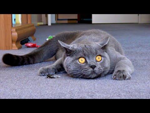 Cat plays with a noisy cicada. Kesha British shorthair Blue boy.