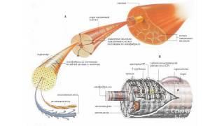 Биология в картинках: Строение мышцы (Вып. 14)