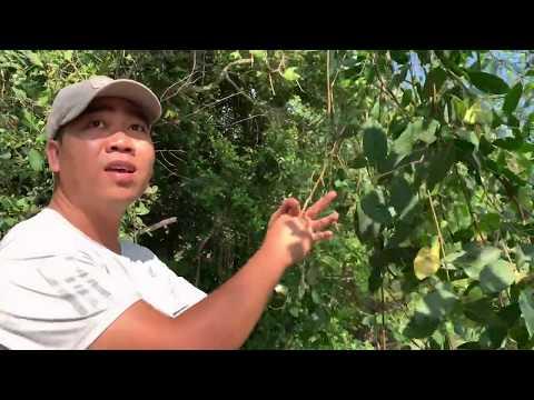Hái trái bần ngày nước lên, loại trái cây ưa thích của những đứa trẻ quê.