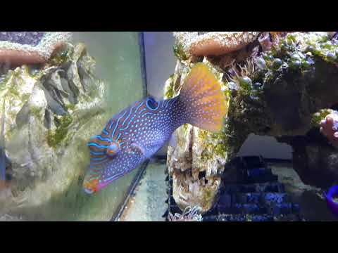 Picasso Trigger And Blue Spotted Puffer Fish In Quarantine Tank