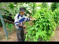 GROWING PURPLE YAM Ube/Ubi WOODCHIPS Permaculture Survival Garden Ube Dioscorea Alata
