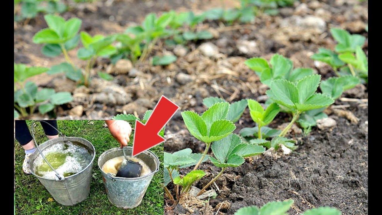 Облейте этим секретным раствором кустики клубники осенью от всех болезней и вредителей!