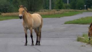 Chernobyl: Wild Przewalski