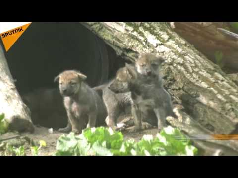 Mexican Gray Wolf Puppies At Brookfield Zoo