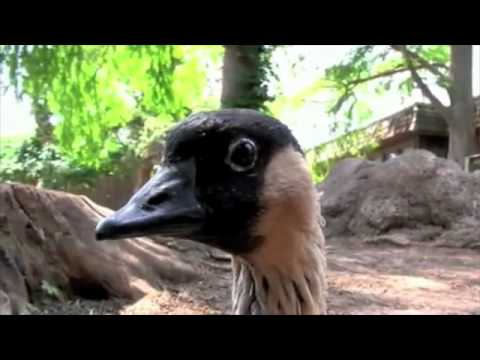 Nene, the Hawaiian Goose