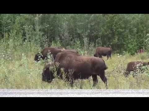 Wildlife observations / Tierbeobachtungen Canada / Kanada and / und Alaska 2014