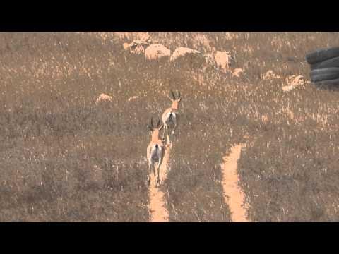Gazelles in Atariya, South Hebron hills