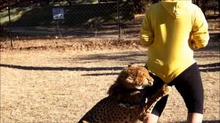 Drone Attacked by Cheetah