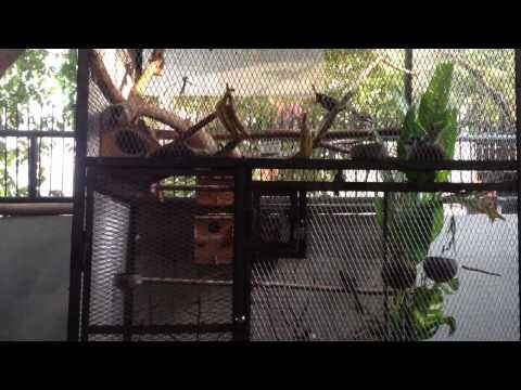 Kicauan burung2 isian di sore hari HD