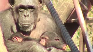 Download Video 東山チンパンジー 双子の赤ちゃん 29  Chimpanzee twin baby MP3 3GP MP4