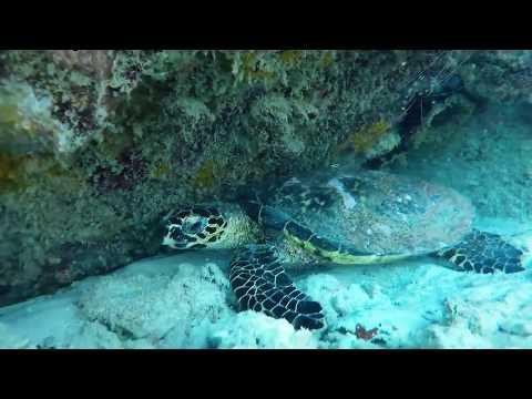 Hawksbill turtle resting under boulder - Anse Lazio; Seychelles