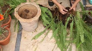 How to Divide Ferns_Divide And Propagate Boston Fern (Urdu,Hindi)