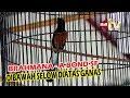 Rawatan Lomba Murai Brahmana Selow Dibawah Ganas Diatas Full Durasi Juara  Piala Padepokan   Mp3 - Mp4 Download