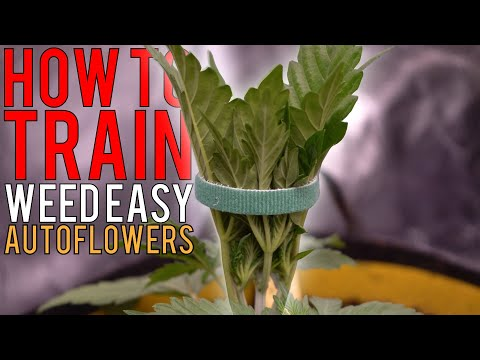 HOW TO GROW WEED EASILY (AUTOFLOWERS)… JUST ADD WATER! DETAILED TRAINING GUIDE FOR BEGINNERS EP2