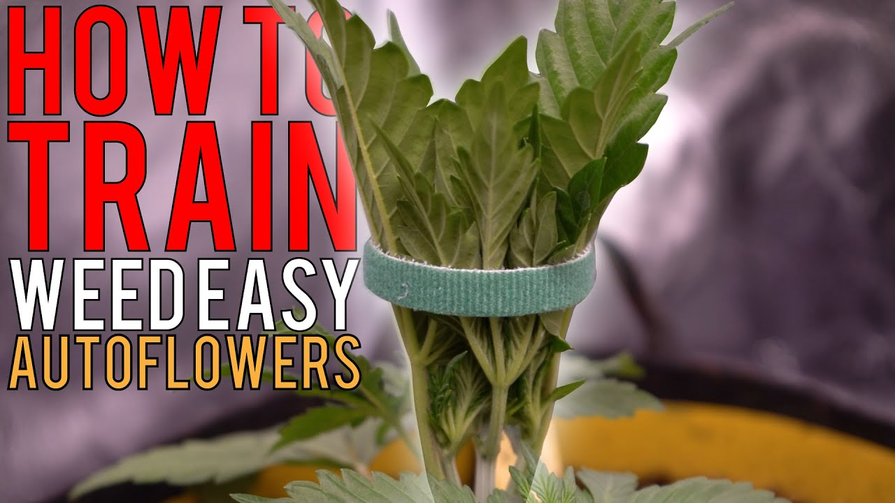 Download HOW TO GROW WEED EASILY (AUTOFLOWERS)... JUST ADD WATER! DETAILED TRAINING GUIDE FOR BEGINNERS EP2