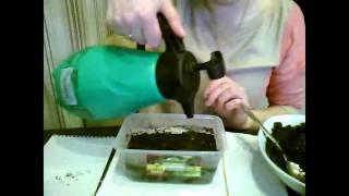 видео Декоративная капуста: выращивание из семян, посадка на рассаду