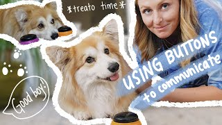 teaching my dog how to use buttons to talk *corgis are so smart*