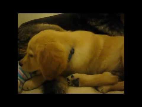Cody Good Dog Rescue