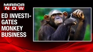 SHOCKING! 3 chimps & 4 marmosets attached to money laundering case by Enforcement Directorate