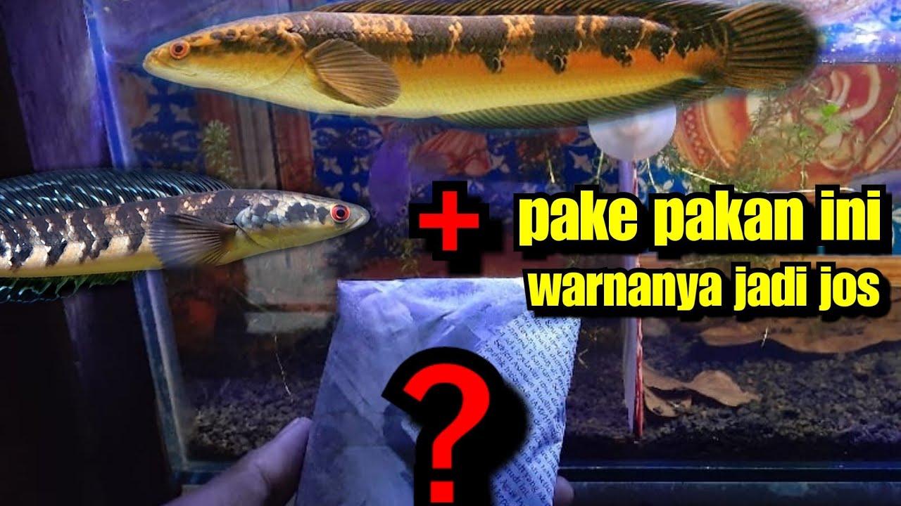Pakan Bagus Buat Ikan Channa Maru Ys Youtube