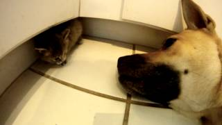 Rescue Dog Helps Take Care Of Foster Kitten