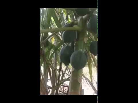 GUYANA 2015 - COCONUTS - PAPAYA & SUGAR CANE