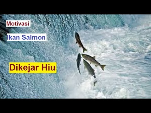 Bergeraklah untuk hidup layaknya ikan salmon