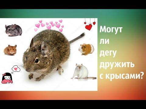 Могут ли дегу дружить с крысами и другими грызунами?