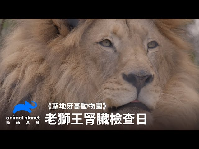 老獅王的腎臟檢查日 動物星球頻道