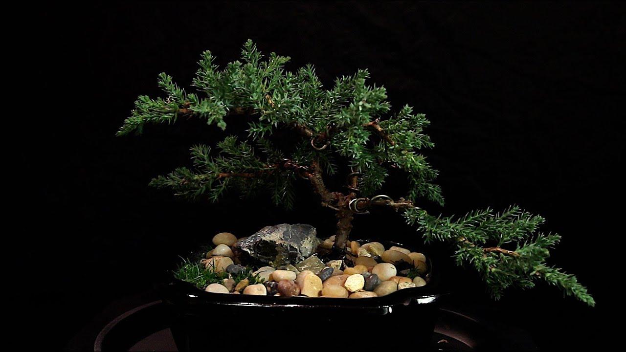 Bonsia Tree Wire Training Youtube Wiring Wisteria Bonsai