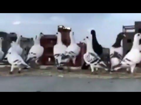 حمام و طيور بلاد الشام    pigeons  Guvercinler  Vögel  uccelli_  پرندگان_  Oiseaux  鳥類