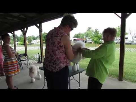 Conformation Dog Show  2014 White Miniature Poodles