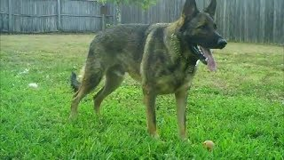 Sable German Shepherd