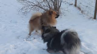 Two German Spitz Dogs Playing in the Winter