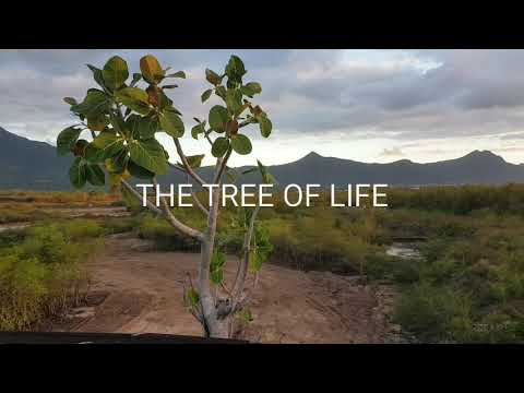 The tree of life found in Mauritius.