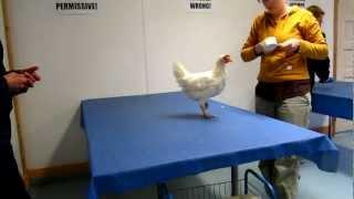Chicken Clicker Training (Operant Conditioning Workshop I - Chicken Training Camp)