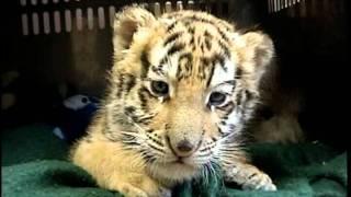 TIGER Cub & GRIZZLY BEAR Cub - (c) Denmortube